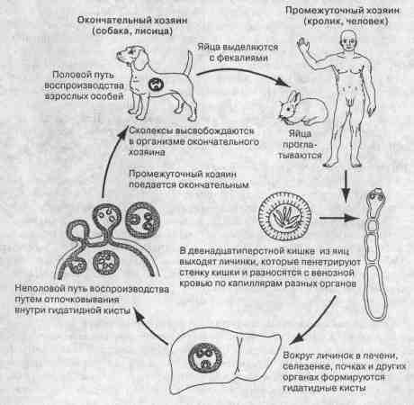 Этапы развития эхинококка