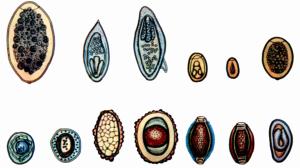 Яйца гельминтов: как происходит их попадание в организм хозяина