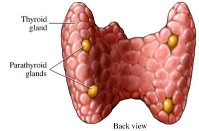 4 околищитовидные железы