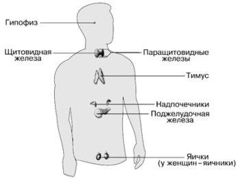 Что собой представляет система эндокринная