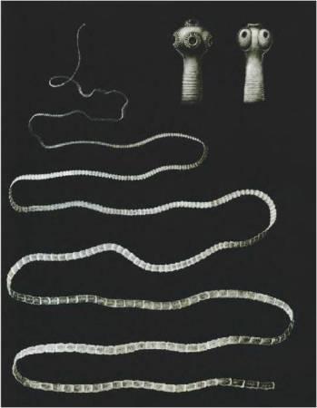 Бычий цепень состоит из головки, шейки и члеников