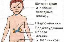 Схема эндокринной системы ребенка