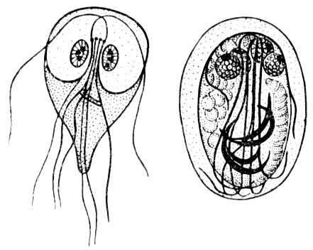 Справа - цист лямблии, слева - взрослая лямблия