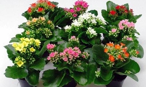 Сок цветка каланхоэ используют при воспалении предстательной железы и в комплексе с отварами ромашки, горца перечного, крапивы двудомной, лопуха