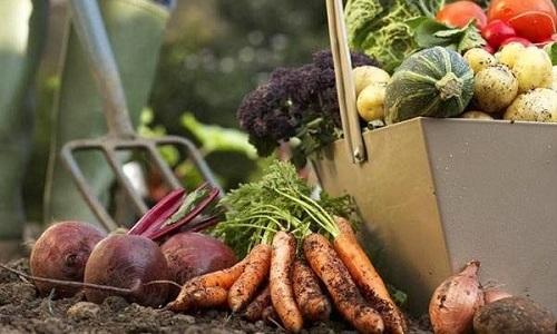 Самыми полезными являются свежие овощи, которые недавно были собраны с грядки