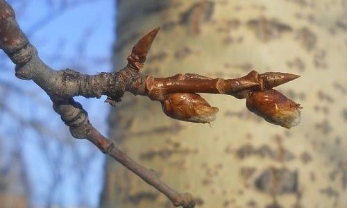 Весной также можно заготавливать почки осины, которые обладают лекарственными свойствами