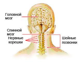 Шейная миелопатия поражает семь позвонков шеи