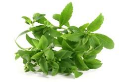 Стевия - многолетнее травянистое сложноцветное растение